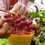 مزرعه قهوه